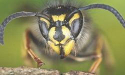 107002409 vespulavulgaris getty - Scientists: Why we should appreciate wasps