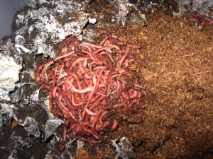 """Image illustrates the question of; """"What is Vermicomposting?"""""""