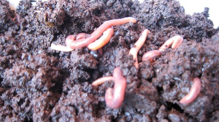 Images of worms used to explain the question of \