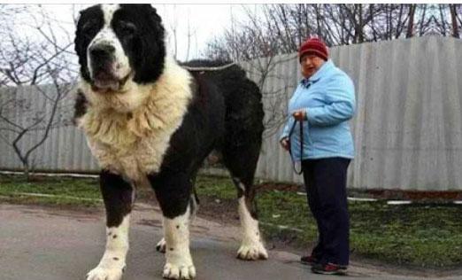 Самые Крупные В Мире Собаки Фото