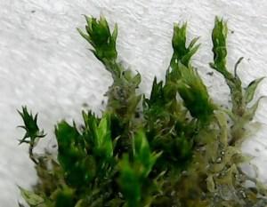 ホソウリゴケの植物体の拡大写真