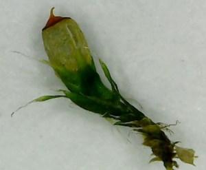 ヒナノハイゴケの植物体(胞子体と苞葉を含む)を1本だけ取り出したところ