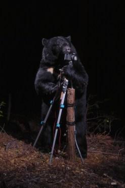 Cartier-ArtContemporain-2016-A-black-bear-plays-with-the-Camera,-Nagano,-2006---Crdit-photo-Manabu-Miyazaki
