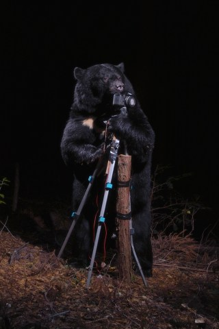 Cartier-ArtContemporain-2016-A-black-bear-plays-with-the-Camera,-Nagano,-2006---Crdit-photo-Manabu-Miyazaki