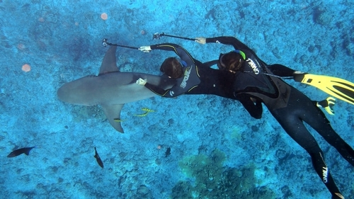 Pair of divers swimming with a shark