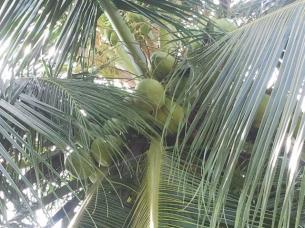 Kokosnoten, even 12 meter klimmen, en hop.