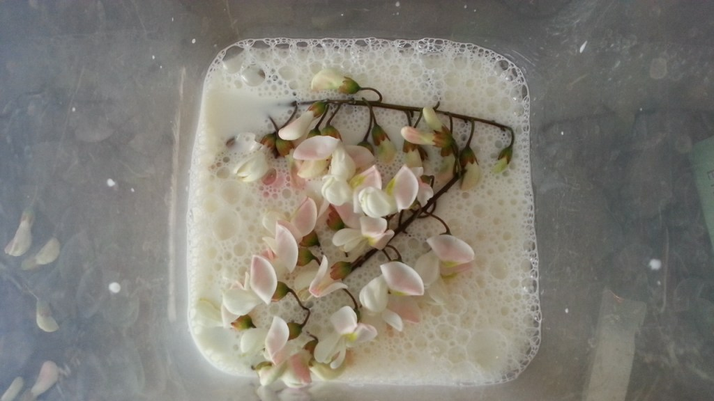Nu bloeiend: Valse acacia, milkshakeboom