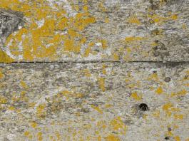 tampilan-jamur-warna-kuning-di-permukaan-kayu