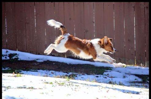 kooikers,kooikerhondje, kooikerhondje enjoying snow in Texas,