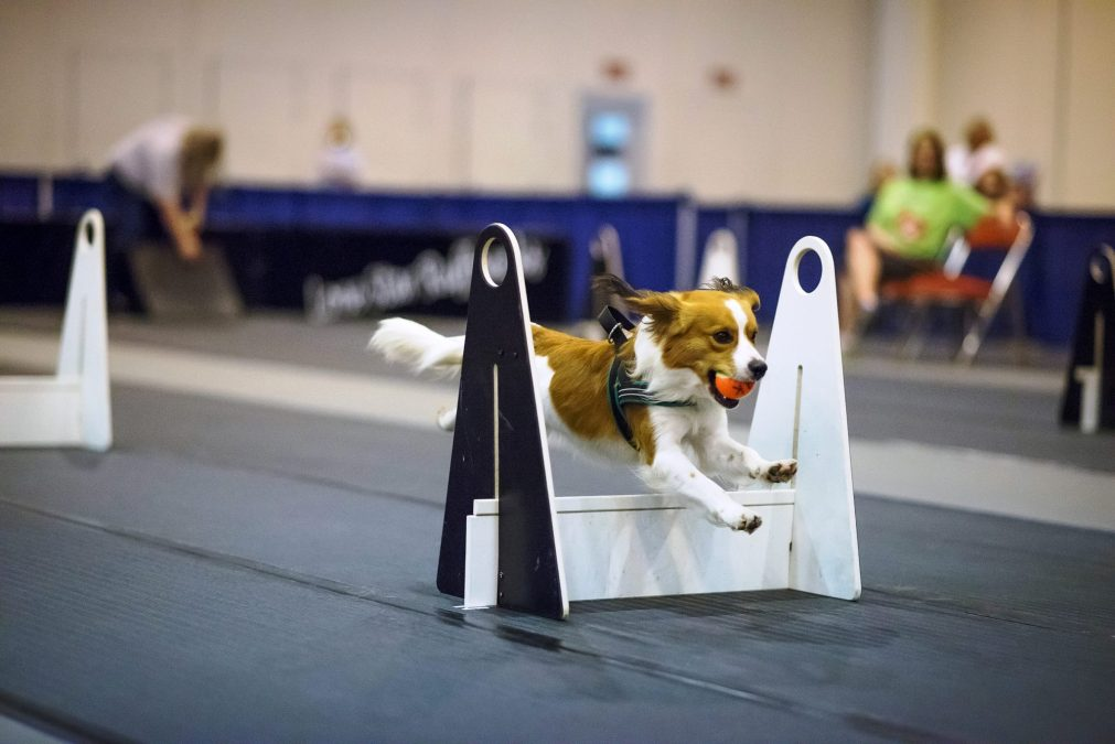 Finn Earns his Flyball Master Title