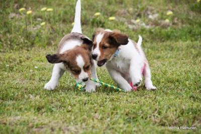 kooiker puppies