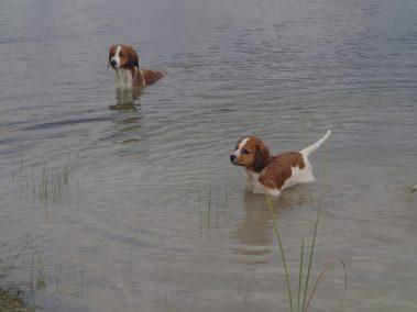 Waterbound Kooikers