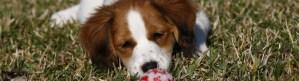 Waterbound Kooiker puppy