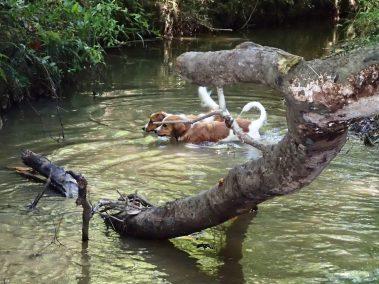 Kooikerhondjes at the Creek