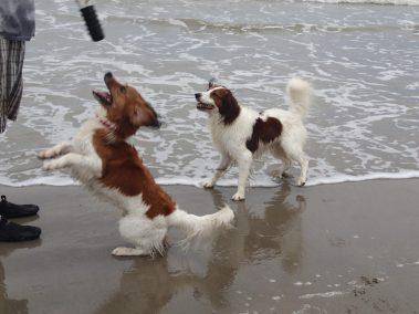Kooikerhondjes Astro and Finn retrieving at the beach in Galveston, TX