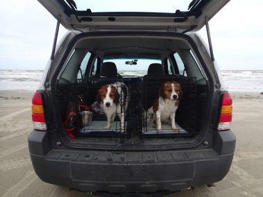 Kooikers loaded in the car