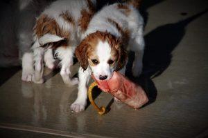 kooikerhondjes, kooikerhondje, Nederlandse Kooikerhondje, Kooikers, kooiker, waterbound, waterbound kooikers, waterbound kooikerhondjes, kooikerhondje puppies, puppies, spaniels,