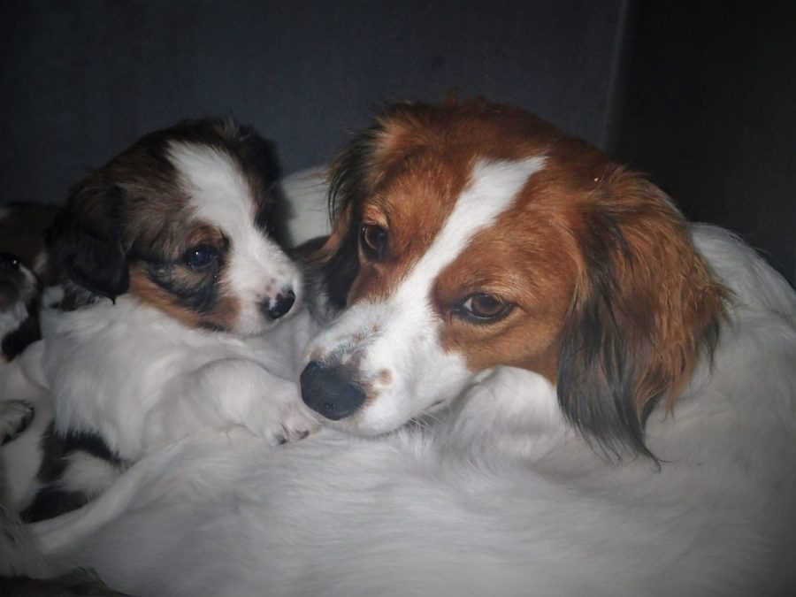 """12 month old """"Auntie Demi"""" with the Spirit litter"""