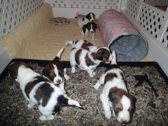 Spirit puppies 3 1/2 week update