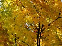 fofo gold foliage 2015