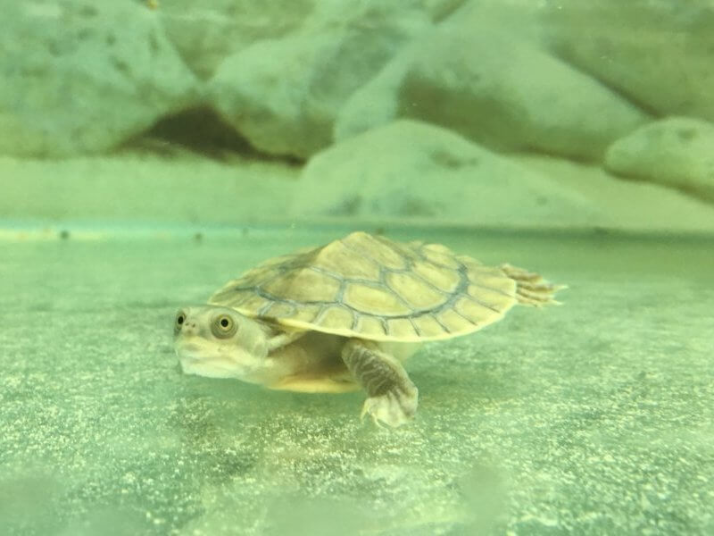 Baby Pet Turtle Melbourne in Turtle Tank