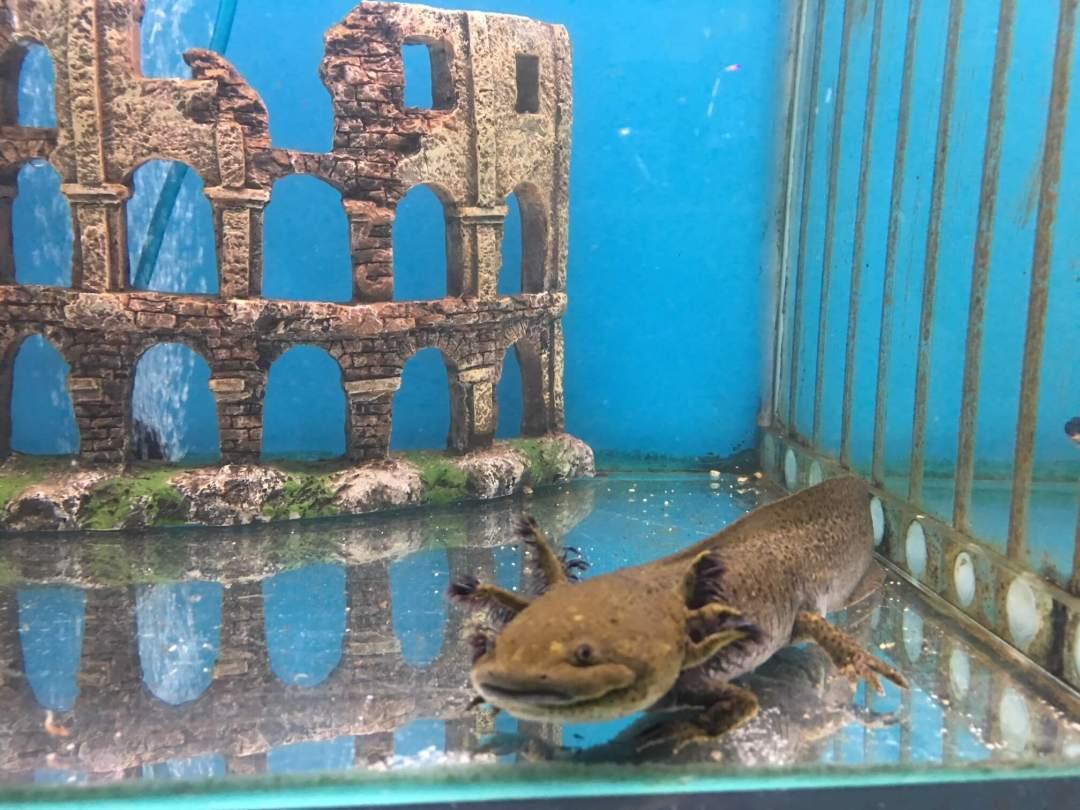 Axolotl Melbourne