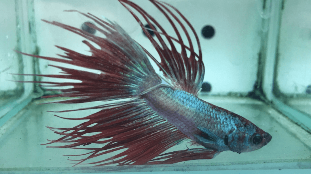 Fighting Fish Melbourne - Red Veil