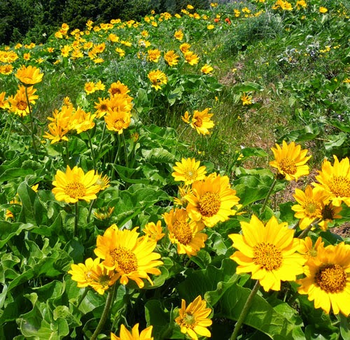 Sunflowers on Dog Mountain