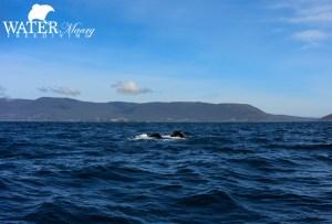 Humpback whales Tasman Peninsula