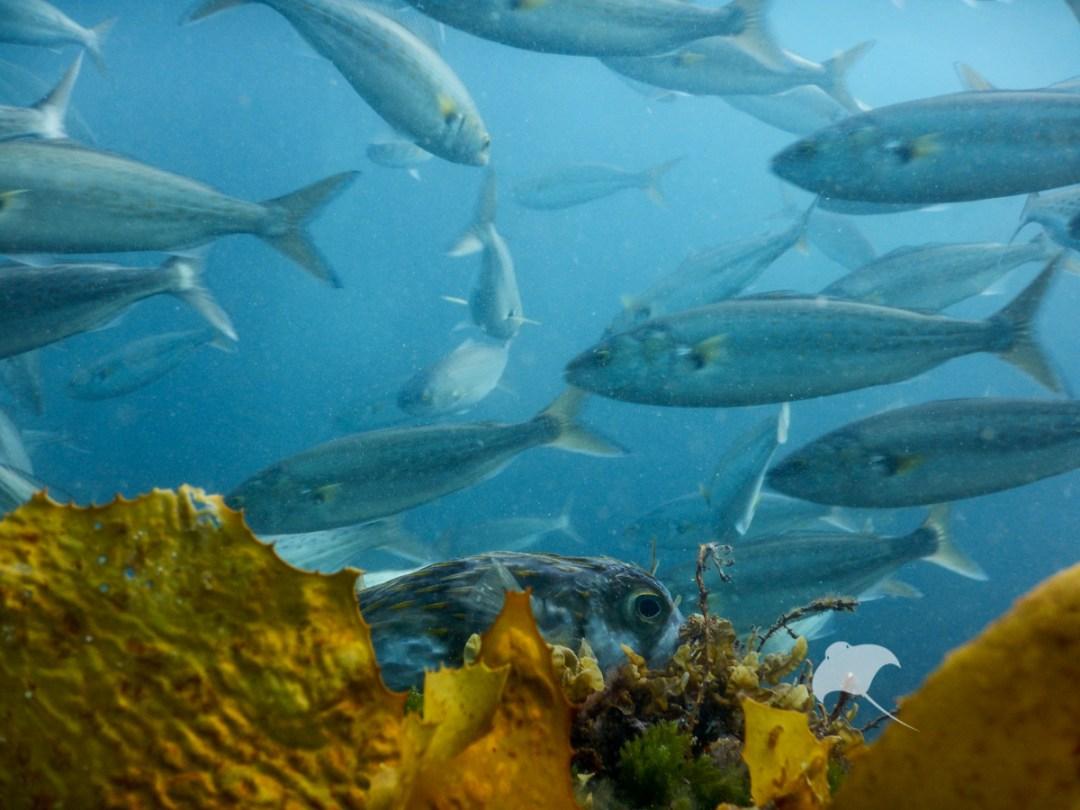 Freedive with fish Mornington Peninsula