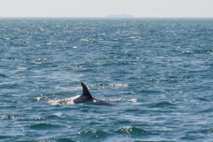 Watching a Bottlenose Dolphin on boat cruise