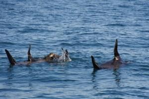 Watching Seals in Port Phillip Bay
