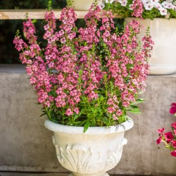 Angelonia Perfectly Pink