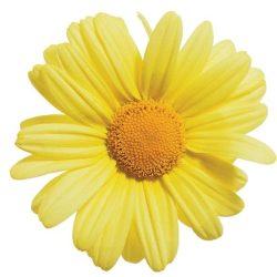 Argaranthemum Butterfly Yellow