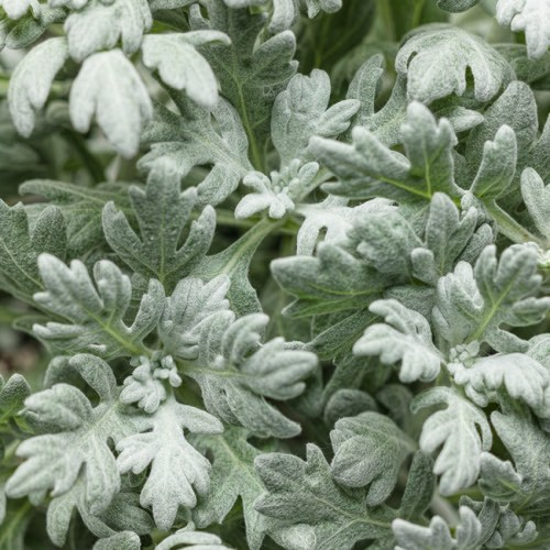 Artemisia (Wormwood) Silver Mound