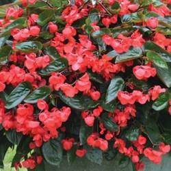 Begonia – Dragon Wing  Red Hanging Basket
