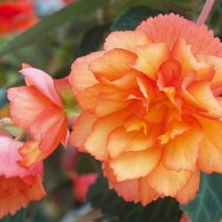 Begonia Illumination Golden Picotee