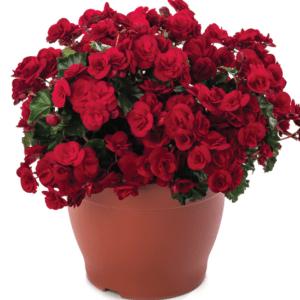 Begonia Solenia Velvet