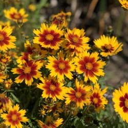 Coreopsis (Tickseed) Gold and Bronze