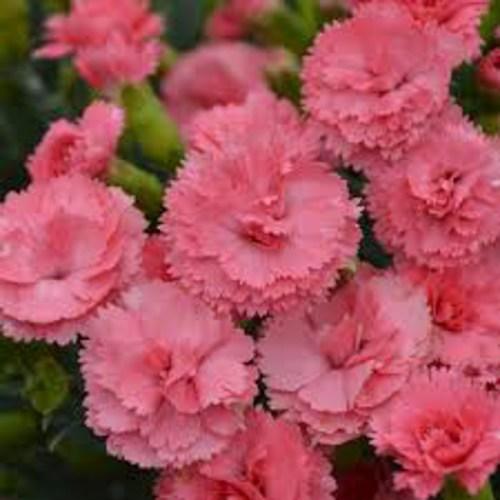 Dianthus Classic Coral