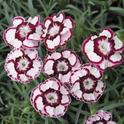 Dianthus (Garden Pinks) Raspberry Swirl