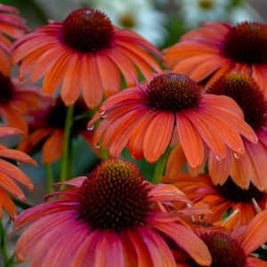 Echinacea (Coneflower) Orange You Awesome