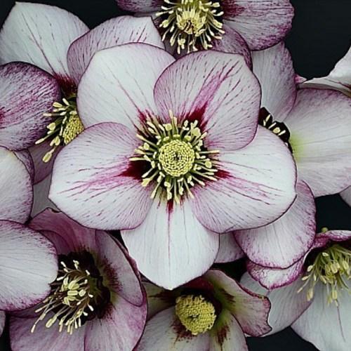 Helleborus (Lenten Rose) French Kiss