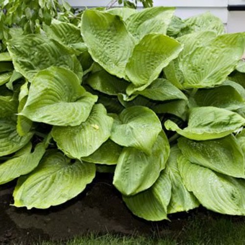Hosta (Plantain Lily) Sum and Substance
