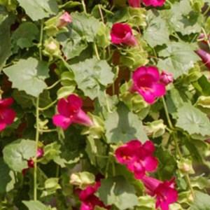 Lofos – Comp Rose Hanging Basket