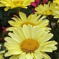 Leucanthemum (Shasta Daisy) Real Sunbeam