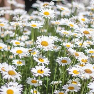 Leucanthemum (Shasta Daisy) Snowcap