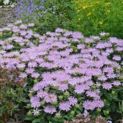 Monarda (Bee Balm) Leading Lady Lilac