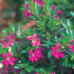 Pot Cuphea Floriglory Selena