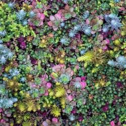 Sedum (Stonecrop) Flaming Carpet